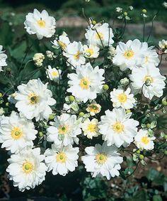 Anemone x hybrida 'Whirlwind' - Windflower www.vanbloem.com #vanbloemgardens #perennial #summergarden #anemone