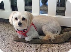 Thousand Oaks, CA - Maltese/Poodle (Miniature) Mix. Meet Carly, a dog for adoption. http://www.adoptapet.com/pet/13255397-thousand-oaks-california-maltese-mix