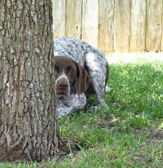German Shorthaired Pointer hiding