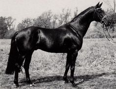 The 16 hand black Anglo-Arabian stallion Matcho, by Pancho II out of Timab de Fondelyn, was bred in France, and shared ancestry through a common grandsire Nithard, with Inschallah, another French bred Anglo-Arabian stallion who was influential in warmblood breeding. Matcho was purchased by the Celle State Stud in Germany, where he served from 1983 and 1995 . He was ranked first in the Hanoverian performance test in 1982 , and was used to breed lighter built sporthorses with good gaits.