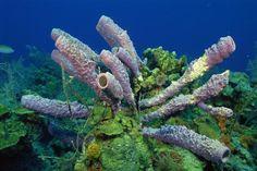 Lavender Tube Sponge (Callyspongia vaginalis)