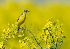 Op de uitkijk Fotograaf: WilfriedSolarz Ook in het koolzaad voelt de gele kwik zich prima thuis
