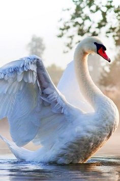 Gorgeous beautiful swan photo of birds. Beautiful Swan, Beautiful Birds, Animals Beautiful, Swans, Animals And Pets, Cute Animals, Swan Pictures, Big Bird, Swan Lake