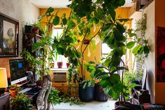 The fig tree in her office on the right was the first plant she ever brought into the apartment. It was only waist-height at the time and today reaches across the ceiling.
