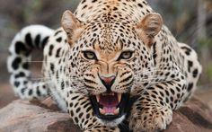 Animals Wildlife Leopard HD Desktop Wallpaper
