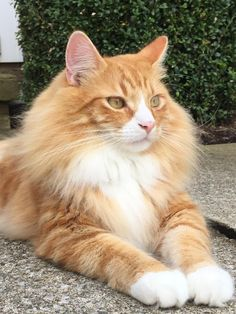 Just wanted to share Jackson with you all. He is king of the floof by vodkaheart cats kitten catsonweb cute adorable funny sleepy animals nature kitty cutie ca