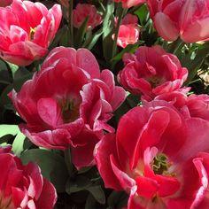 #amsterdam#netherlands#holland#holanda#nature#landscape#green#tulips#holidays#holiday#flowersofinstagram#flowers#spring#ig_netherlands#igersnetherlands#ig_amsterdam#igersamsterdam#discovereurope#ig_europe#igerseurope#europe#travel#traveling#traveler#travelgram#travelling#trip#eurotrip#europa by alitzelsoleil