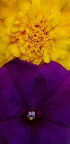 Yellow and Purple Flower Macro Shades Of Purple, Purple Gold, Green And Purple, Color Of Life, Color Of The Year, Colour Pallette, Color Combos, Contrast Photography, Violet Aesthetic