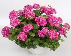 Perlargonium peltatum, Mexica Clematis, Mexica, Gardening Tips, Ivy, Arctic, Floral Wreath, Wreaths, Interior, Geraniums