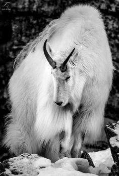 """tales-of-the-night-whisperer: """" Mountain Goat by nigel3 Edited by Me (Please do not remove credit) """""""