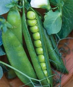 Pea Easy Peasy | Garden Seeds and Plants