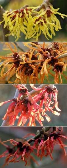 Hamamélis : floraison hivernale avant les feuilles, différents coloris suivant les variétés