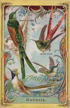 CHROMO WED H P LAMMERS & ZOON - COLIBRIS - CYNANTHUS MOCOA - HELIACTIN CORNUTA - BELONA CRISTATA - LESBIA SPARGANURA - | Flickr - Photo Shar...