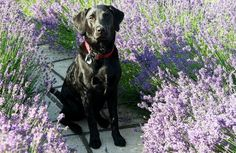 Top 5 Essential Oils for Dogs With Allergies If you've slathered on the flea and tick medication, but your pooch is still scratching, he might be dealing with allergies. Here are five essential oils that can help alleviate your itchy pup. Doterra, Essential Oils Dogs, Itchy Dog, Online Pet Store, Oils For Dogs, Pet Supplements, Dog Anxiety, Can Dogs Eat, Fleas