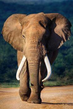 BIG Bull Elephant approaching