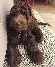 Are you thinking about adopting a Doodle? Or are you looking for the right name for your newly adopted Labradoodle? Then you've come to the right place to find some really awesome Labradoodle names! Cute Puppies, Cute Dogs, Dogs And Puppies, Doggies, Animals And Pets, Baby Animals, Cute Animals, Chien Goldendoodle, Labradoodle Dog