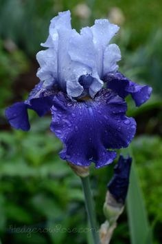 Reblooming Iris 'Best Bet'
