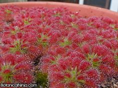 Drosera roseana Like this plant? Buy gemmae to grow them here: http://www.botanicalninjas.com/collections/gemmae/products/drosera-roseana-pygmy-sundew-gemmae