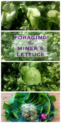Foraging for Miners Lettuce ~ The perfect wild salad green is probably in your backyard! www.growforagecookferment.com
