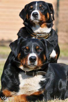 Appenzeller dogs by ~Vikarus on deviantART