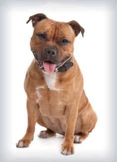 Staffordshire Bull Terrier- Staffordshire bull terriers, like other bully breeds, descend from ancient mastiff-type dogs called Molossians.