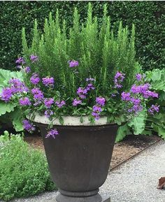 Spring Garden Pots and Planters Outdoor potted plants. Love this rosemary and verbenaOutdoor potted plants. Love this rosemary and verbena Container Flowers, Container Plants, Container Gardening, Gardening Tips, Organic Gardening, Hydroponic Gardening, Plant Containers, Gardening Services, Gardening Websites
