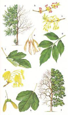 Image result for Acer negundo botanical