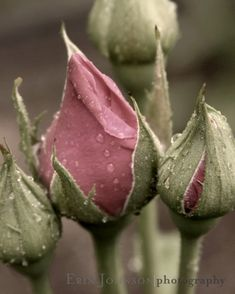 Dreamy yet slightly aged look to this photo of rose buds