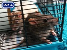 Simone and Sipowicz, Rats, RSPCA Cheshire (Altrincham) Branch Altrincham, Silly Faces, Pet Search, Cute Funny Animals, Sadie, Rats, Adoption, Wildlife, Funny Faces