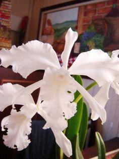 Orquídea Lélia Branca (Laelia Lobata) - Modo de Cultivo: