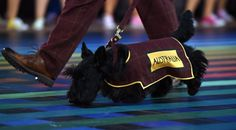 This little cutie helped march in the Australian team at the Opening Ceremony of the 2014 Commonwealth Games is Glasgow - WE LOVE!
