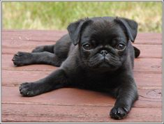 4 Dog Puppy Black Pug dogs puppies relaxing Greeting Notecards/ Envelopes Set #blackpugpuppies
