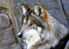 """""""Auribus teneo lupum"""" é uma expressão latim que significa """"segurando um lobo pelas orelhas"""""""