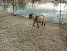goat salute