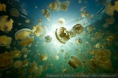 Jellyfish Lake in Palau... the world's only non-poisonous jellyfish