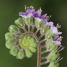 Phacelia scariosa - endemic to Baja California Sur. From San Diego Natural History Museum Botany Department via Deb Ernhart. Unusual Flowers, Amazing Flowers, Beautiful Flowers, Unusual Plants, Spirals In Nature, Fractals In Nature, Patterns In Nature, Botany, Mother Nature