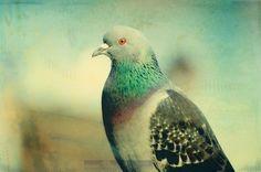 Quietly Sitting Pigeon - 5 x 7 FIne Art Photo Illustration