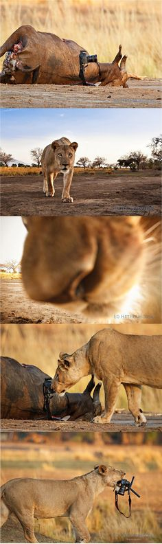Lion steals photographer's camera on safari in Africa!! ~ Ed Hetherington was on safari in Zimbabwe with his wife when he decided to set up his camera to get an action shot of a lioness devouring her prey. Instead of chowing down, she took his camera! Copyright 2012 Ed Hetherington Photography