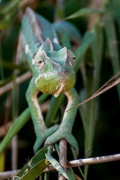 Chameleon | by jacqueskühl