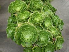 Succulents are very ornamental, and Aeonium are especially so. Lush, fleshy leaves are held in the typically tight rosette form...