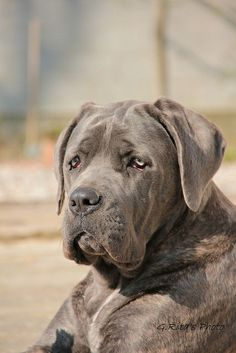 """Cane Corso * * """" Ya betters be sure yoo want dis breed cuz weez always depressed. Cane Corso Italian Mastiff, Cane Corso Mastiff, Cane Corso Dog, Big Dogs, I Love Dogs, Cute Dogs, Dogs And Puppies, Beautiful Dogs, Animals Beautiful"""