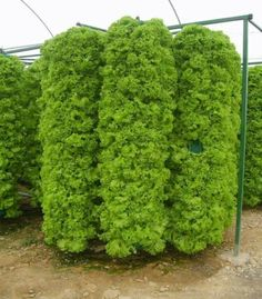 Organic lettuce towers