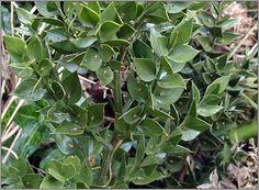 morus nigra (moral, morera negra) Arbol de hoja caduca que no supera los 10m de altura. Fruto de color azul violeta o negro muy sabroso. Florece en junio
