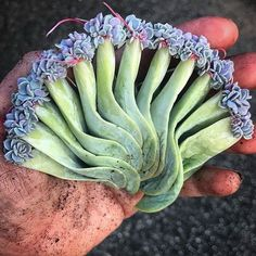 Types of Houseplant Bugs and Methods to Check Their Infestation Arozona These Big Fat Green Pvn Leaves Doin Their Most In The Propagation Game Propagating Succulents, Growing Succulents, Succulent Gardening, Succulent Care, Succulent Terrarium, Cacti And Succulents, Planting Succulents, Garden Plants, House Plants
