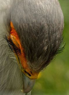 Eyelashes of a secretary bird.