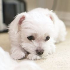A-Rod: can i skip school today? Mom: what school? #sillymom #maltese #puppylove…