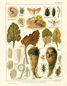 1922 Maladies et Ennemis de la Betterave. Sciences Naturelles. Ancienne Planche agronomique.  illustration Grand Format Larousse
