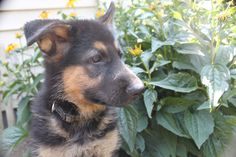 This is a female German Shepherd puppy that was just posted for sale at http://www.network34.com/dogsbreed/german-shepherd-puppies-for-sale-pa-md-ny-nj-dc/