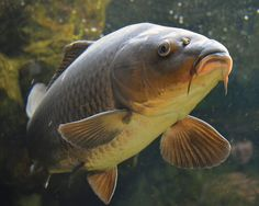 common carp - Google Search