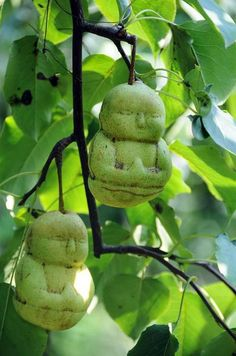 BUDDHA PEARS  Conceptual farmer: Chinese farmer Hao Xianzhang has perfected the process of growing pears inside Buddha shaped plastic molds. They are sold at 50 yuan (about $7.32 USD) in the village of Hexia, China and are thought to bring good luck.